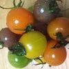いろんなトマトの画像