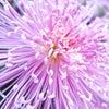 ■亀戸天神・菊まつり|見事な菊に囲まれて、可愛らしい七五三たちが可愛らしかったです。の画像