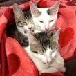 ネコちゃん三兄弟の近…