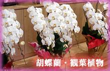 観葉植物 胡蝶蘭 販売