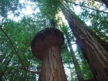Muir Woodsの木の上部