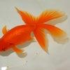 2015年1月11日現在、新着魚のご紹介です КАЦУМИ шоутенの画像