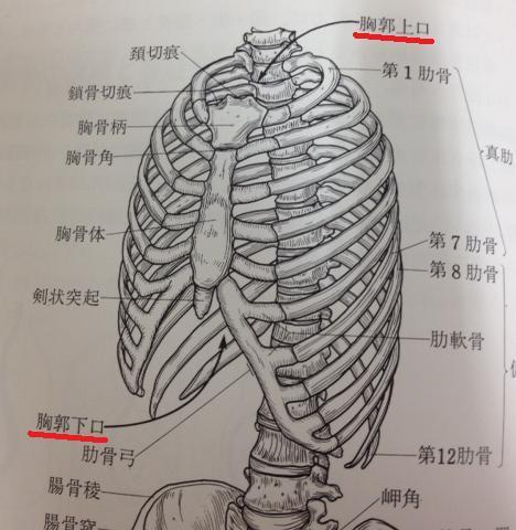 胸郭(きょうかく)とは何?Weblio辞書