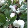 きよらぼ<Kiyo-lab.>のお庭から花だより~クリスマスローズ~の画像