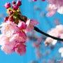 河津桜が咲いた!