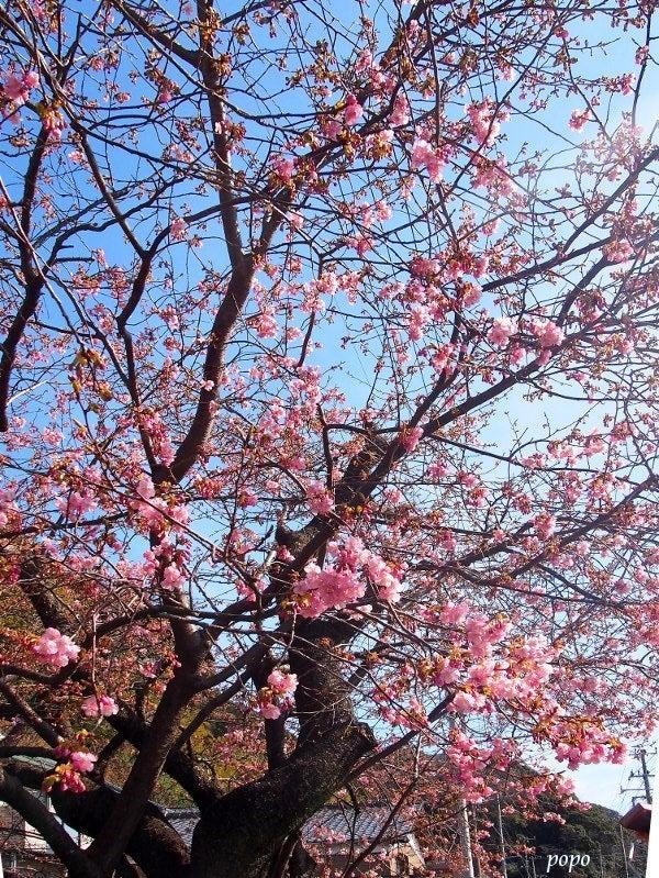 河津桜の原木01