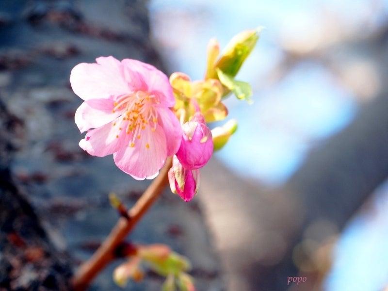 河津桜07