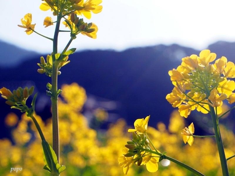 菜の花と山01