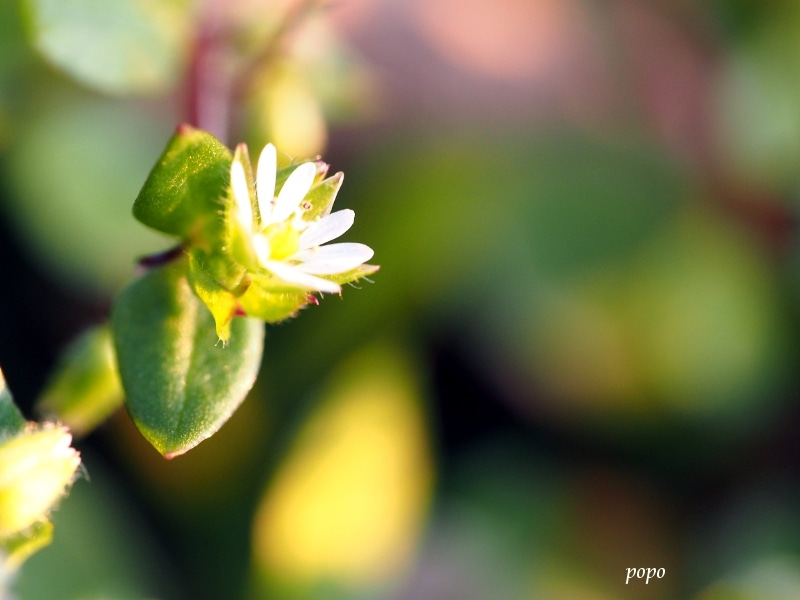 ハコベ春の七草01