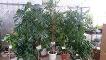中古観葉植物