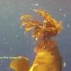 ▼唸声生物映像/ミノカサゴがハタに食われる・・・の画像