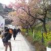 河津桜は見事でした。の画像