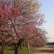 梅は咲いたか 偕楽園