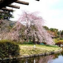 枝垂れ桜が見頃に!城…