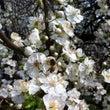 イタリアで 桜に立ち…