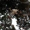 桜咲く、、、の画像