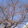 開花宣言☆の画像
