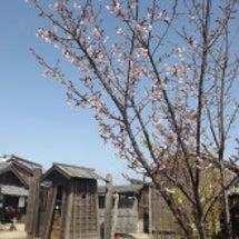 今日のお客様と桜