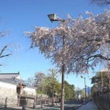 静岡市桜情報 H27…