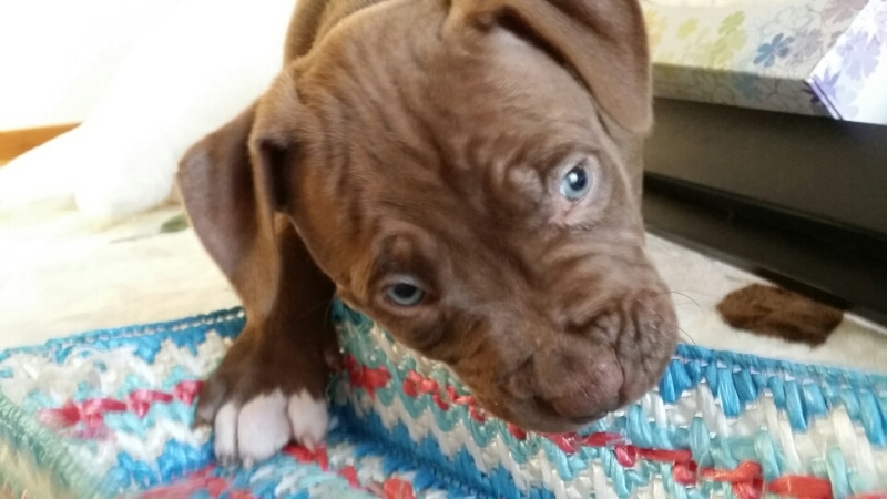 """Image result for 犬 dogue de bordeaux いたずらな"""""""