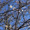 桜が少し咲き始めました〜♪の画像