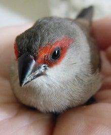 ハワイ島の野鳥 オナガカエデチ...