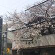 もうすぐ桜が・・・