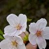 「桜」2015の画像