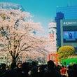 渋谷にも桜が咲きまし…