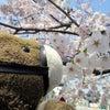 東京の桜は満開ですの画像