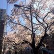 春☆桜満開