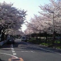 満開の桜並木を走り抜…