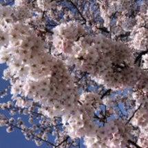 桜が満開☆