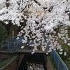 桜咲く、、(その4)そしてちょっと、、、の画像