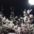 仕事帰りに夜桜を見に…