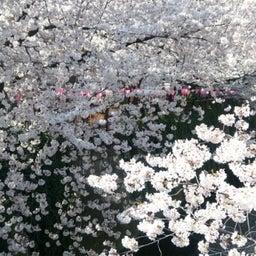 画像 お花見~目黒川にて の記事より 2つ目