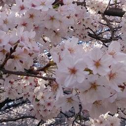 画像 お花見~目黒川にて の記事より 6つ目