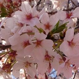 画像 お花見~目黒川にて の記事より 3つ目