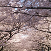 お花見~目黒川にての画像