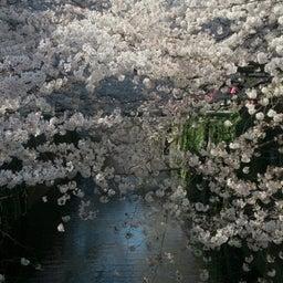 画像 お花見~目黒川にて の記事より 4つ目