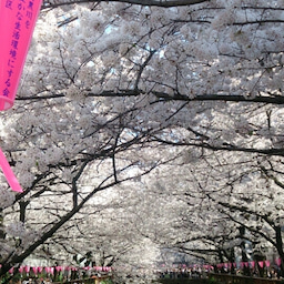 画像 お花見~目黒川にて の記事より 7つ目