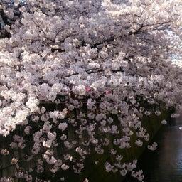 画像 お花見~目黒川にて の記事より 5つ目