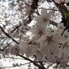 春満開♪♪の画像