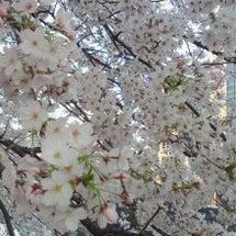 桜がキレイです。