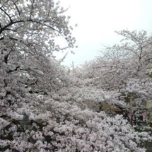 中目黒お花見☆
