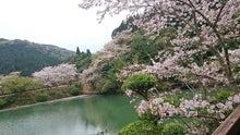 いちき串木野市 観音ヶ池 桜