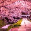 桜 さくら 舞う 舞…