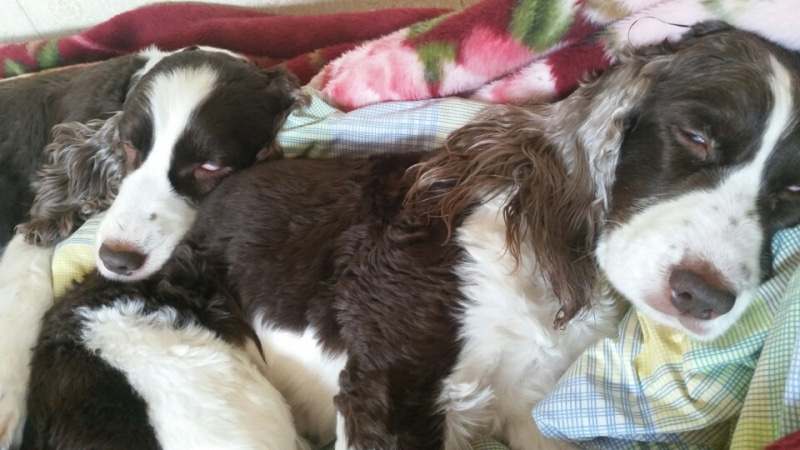 Resultado de imagen para 犬 English Springer Spaniel  眠っている