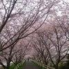 小雨の花見JOG (・ω・`寂)...........の画像