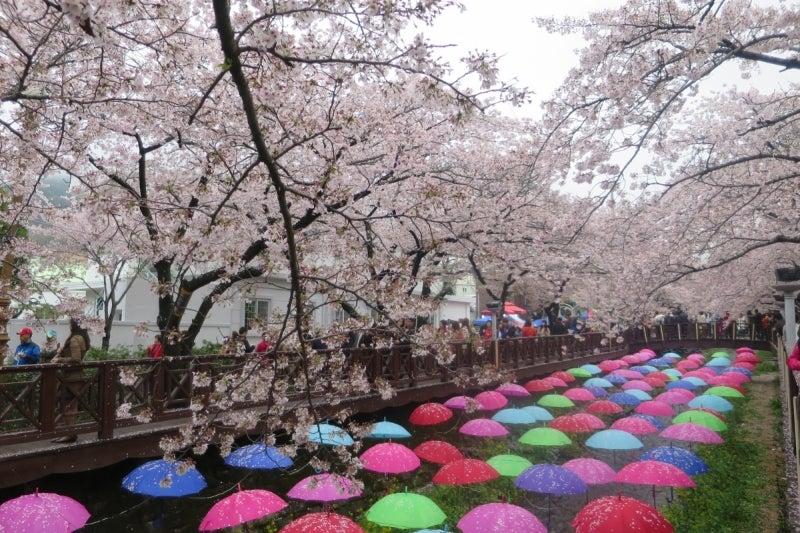 鎮海桜祭4